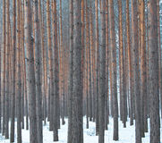 Forest. Pine forest in winter, the trunks Stock Photos