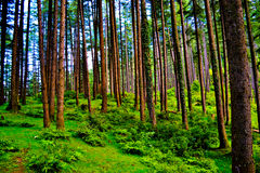 Forest. Beautiful forest lineup trees full of oxygen very green Stock Photos