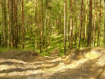 Forest. Wood, sand, sandy, trees, pine-tree, summer, autumn, sun, sunshine, path, walk, wallpaper, nature, warm, timber, coniferous , country road, country Stock Photography