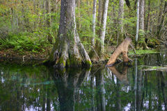 Forest. Reflection of trees in pure spring water in Silver Springs, Florida Stock Images