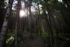 Forest. Dark pine forest with sun shining through the trees Royalty Free Stock Images