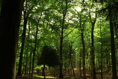 Forest. A view of trees and leaf cover in a natural forest Royalty Free Stock Images