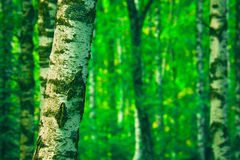 Forest. Birch forest trunks in summer Royalty Free Stock Photography