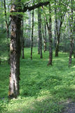 Forest. Trees and plants in a dense, green forest royalty free stock photography