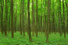 Forest Royalty Free Stock Photo