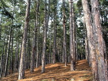 Forest. Pine forest stock image