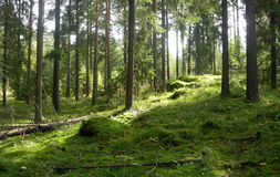 Forest. Wild forest in the summer stock photography