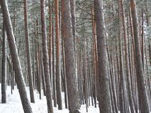 Forest. Pine trees in forest at winter stock photography