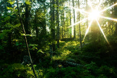 Forest. Sunlight in trees of forest Royalty Free Stock Image