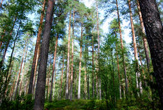 Forest. In Koli Nationalpark, Finland Royalty Free Stock Images