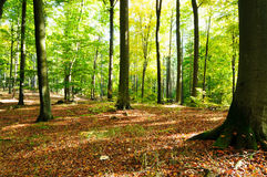 Forest. Beautiful autumn weather forest scene Stock Images