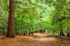 Forest. Path in a coniferous forest Royalty Free Stock Photo