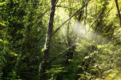 Forest. Sun rays through the forest green vegetation stock photo
