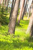 Forest. Green forest royalty free stock photos
