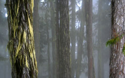 Forest. An old growth forest in Canada Stock Image