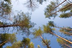 Forest. Pine tree forest Royalty Free Stock Photography