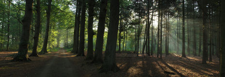 Forest. Trees in the shade of the morning sun. A little morning mist emphases the light beams Stock Image