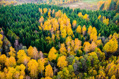 Forest from above. Birch and pines forest at fall or autumn orange yellow view from above Lithuania Stock Images