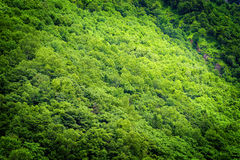 Forest. Abstract fresh green tree in spring Royalty Free Stock Photos