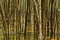 Forest Abstract, Mangrovebos Stock Afbeelding