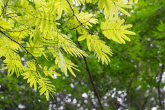 Forest of acacia trees Royalty Free Stock Photos