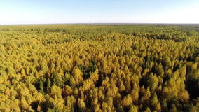 Forest. Aerial flight over autumn forest