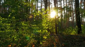 Forest on Against Sunset stock video footage