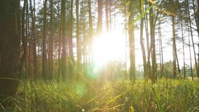 Forest on Against Sunset. Beautiful nature of the forest at sunset. The rays of the sun make their way through the trees and grass. Sun rays passing through stock footage
