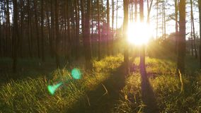 Forest on Against Sunset. Beautiful nature of the forest at sunset. The rays of the sun make their way through the trees and grass. Sun rays passing through stock video