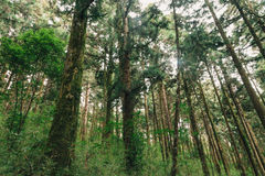 forest in Alishan taiwan,taichung Stock Photo