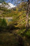 Forest. In alpe devero during autumn Royalty Free Stock Photography