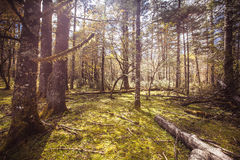 Forest. Alpine forest at an altitude of over 2,000 meters Stock Images