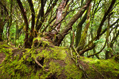 Forest in Anaga National Park, Tenerife Royalty Free Stock Photography