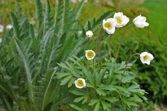 Forest Anemone (sylvestris dell'anemone) Immagine Stock