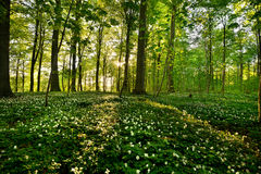 Forest anemones. On a spring day Royalty Free Stock Photo