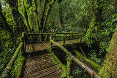 Forest At Ang Ka Nature Trail In Doi Inthanon royalty free stock photo