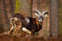 Forest animal in the habitat. Mouflon, Ovis orientalis, forest horned animal in the nature habitat, portrait of mammal with big ho. Rn Stock Images