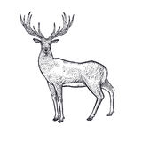 Forest animals deer illustration. Royalty Free Stock Images