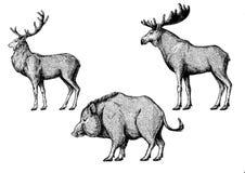 Free Forest Animals. Moose, Elk, Boar, Hog, Pig, Aper. Stock Photo - 138141740
