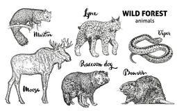 Forest Animals Set sauvage Orignaux, martre, lynx, chien de raton laveur, castor, vecteur de vipère illustration stock