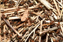 Forest ant and anthill Stock Photography