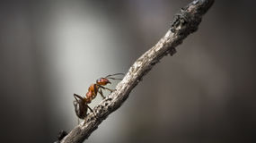 Forest ant closeup Stock Image