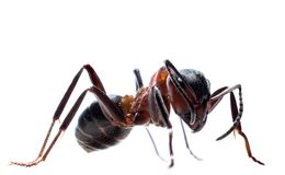 Forest ant isolated Royalty Free Stock Image