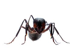 Forest ant isolated Royalty Free Stock Photos