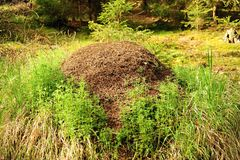 Forest anthill Stock Image