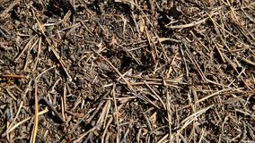 Forest anthill with running around. stock footage