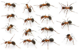 Forest ants. Fifteen forest ants on white background royalty free stock photography