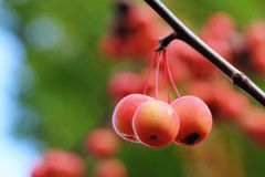 Forest apple. European crab apple or forest apple fruit handing on the tree Royalty Free Stock Image