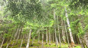 Forest of Aran valley, Spain Royalty Free Stock Photo