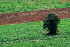 Forest area invasion, The only tree remaining, Destruction of natural resources,global warming,Rural agriculture,Tapioca farm,. Sugarcane farm,aerial photograph royalty free stock photos